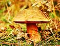 Two Fish: Boletus Erythropus